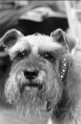 83-355; Schnauzer on Campus